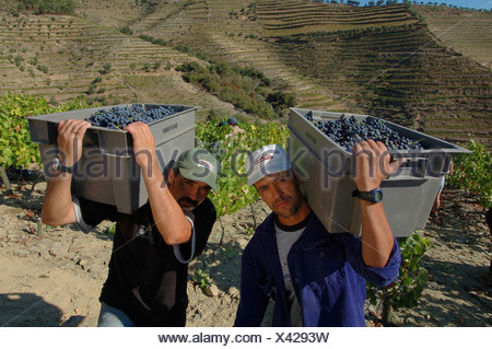 Winegrowing in the Vale Mendiz, grape pickers carrying boxes with grapes, Pinhao, Douro Region, North Portugal, Europe - Stock Photo
