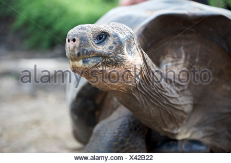 Giant Tortoise (dome-shelled). Charles Darwin Research Station field enclosure, Santa Cruz Island, Galapagos - Stock Photo