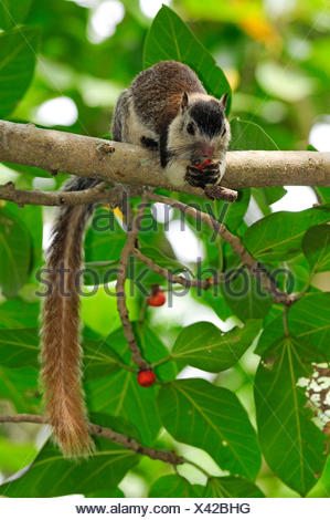 Grizzled giant squirrel (Ratufa macroura), sitting on a branch, Sri Lanka - Stock Photo