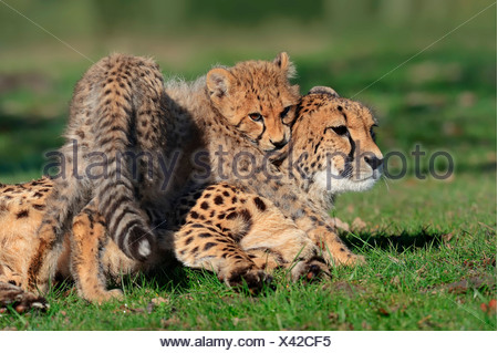 Cheetah (Acinonyx jubatus), cub playing with female, occurrence in Africa, captive, Germany - Stock Photo