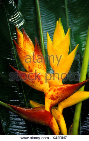 Two heliconias (Heliconia champneiana): cv. Honduras on the left, cv. Splash on the right, against glossy green foliage - Stock Photo