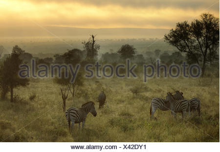 South Africa, Kruger National Park, Misty morning with Zebras and wildebeest - Stock Photo