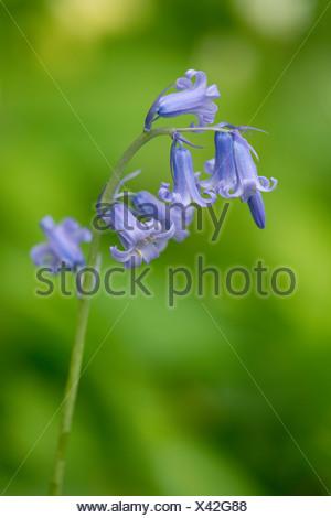 Spanish Bluebell (Hyacinthoides hispanica), flowering, native to Northwestern Africa, Western Spain and Portugal - Stock Photo