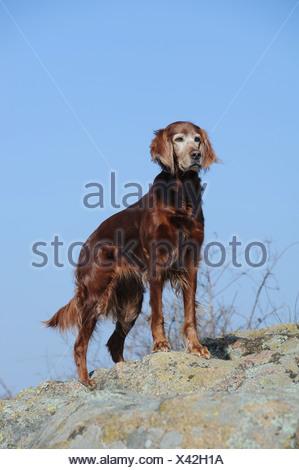 Irish Setter standing on a rock - Stock Photo
