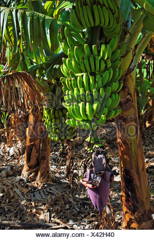 Fei banana (Musa troglodytarum), banana tree in the Valle de Gran Rey Valley, La Gomera, Canary Islands, Spain, Europe - Stock Photo