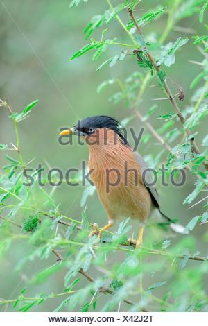 Brahminy Myna, Keoladeo Ghana national park, Rajasthan, India / (Sturnus pagodarum) / Brahminy Starling, Black-headed Starling - Stock Photo