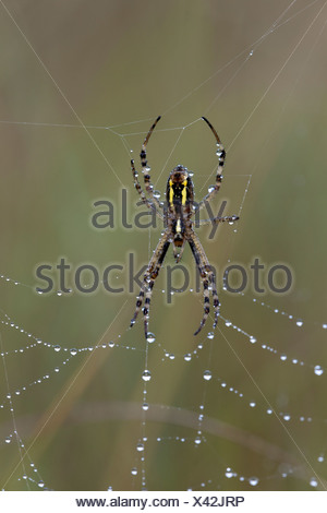 Wasp spider (Argiope bruennichi), female covered with rain drops, sitting in its spiderweb - Stock Photo