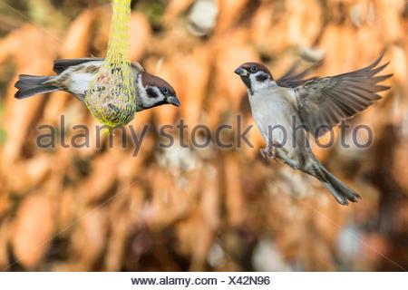 Feldsperling, Feldspatz (Passer montanus), streiten um einen Meisenknoedel, Deutschland, Bayern, Niederbayern | Eurasian tree sp - Stock Photo