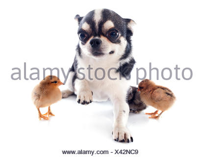 portrait of a cute purebred  chihuahua and chicks in front of white background - Stock Photo