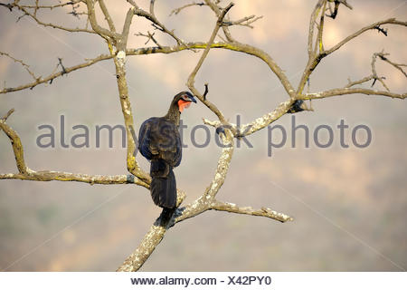 White - winged guan (Penelope albipennis) critically endangered and endemic to Chaparri Ecological Reserve, Peru, South America - Stock Photo
