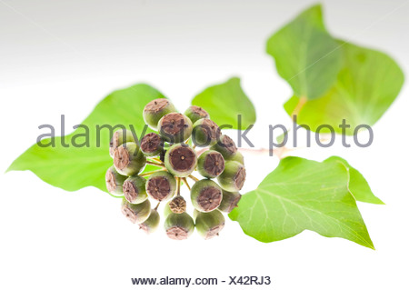 Ivy (Hedera helix L.), leaves and berries - Stock Photo