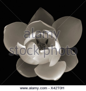 Magnolia, black and white top view of an opening white flower against a black background. - Stock Photo