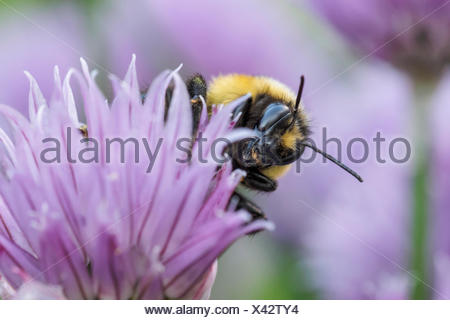 Tricolored Bumble Bee, Bombus ternarius, on chive flowers, Warman, Saskatchewan, Canada - Stock Photo