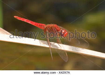 Broad Scarlet, Common Scarlet-darter, Scarlet Darter, Scarlet Dragonfly (Crocothemis erythraea, Croccothemis erythraea), on a blade of grass, France, Corsica - Stock Photo