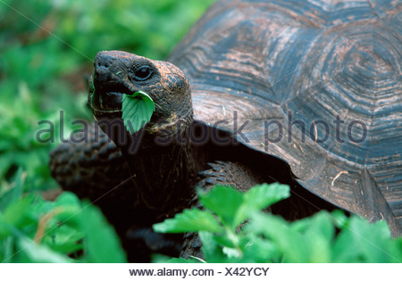 Galapagos Giant Tortoise / Galapagos-Riesenschildkroete - Stock Photo