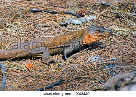 Giant Canary Island Lizard (Gallotia stehlini), side view - Stock Photo