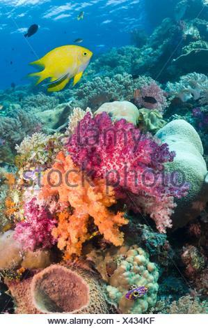 Golden damsel (Amblyglyphidodon aureus) swimming over soft corals on reef. Raja Ampat, West Papua, Indonesia. - Stock Photo