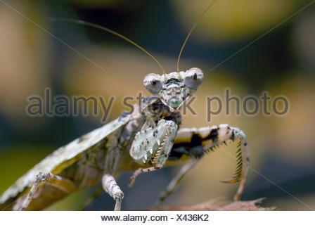 Bark Mantis (Theopompa servillei), half length portrait - Stock Photo