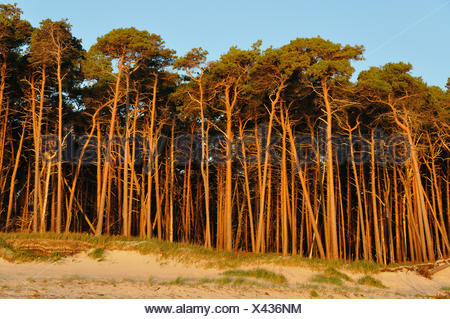 Scotch pine, scots pine (Pinus sylvestris), dune and pine forest, Germany, Mecklenburg-Western Pomerania, Nationalpark Mecklenburg Vorpommern - Stock Photo