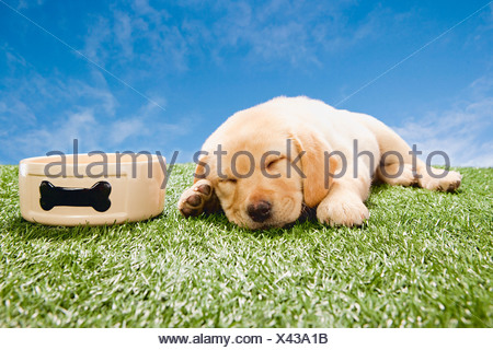 Labrador puppy sleeping by dog bowl - Stock Photo