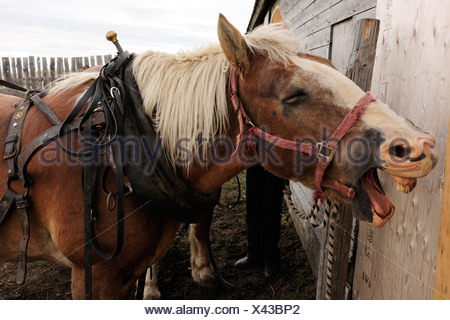 Horse with wide open mouth is put to a cart, Saskatchewan, Canada, North America - Stock Photo