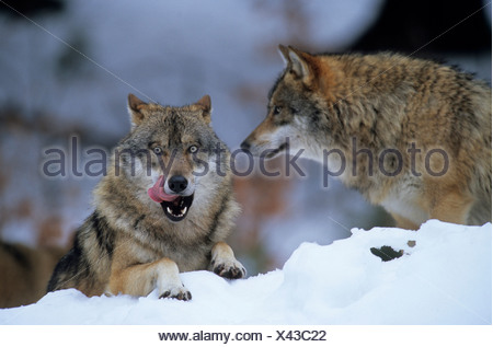Eurasian Wolf (Canis lupus lupus, Canis lupus), European Wolf, adult, one resting in snow and the other one standing behind, po - Stock Photo