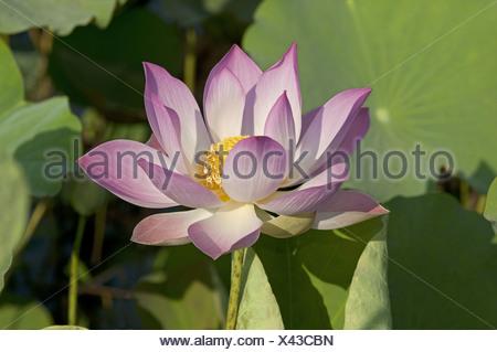Lotus flower, Nelumbo nucifera - Stock Photo