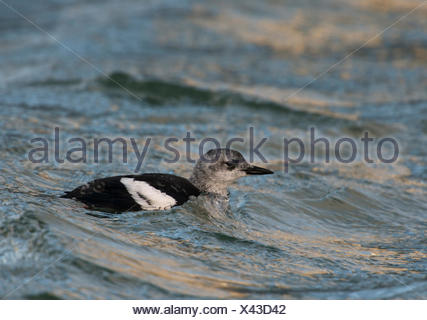 Black Guillemot (Cepphus grylle) - Stock Photo