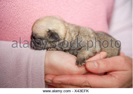 Young Pug Puppy, 2 weeks old, being held in persons hand - Stock Photo