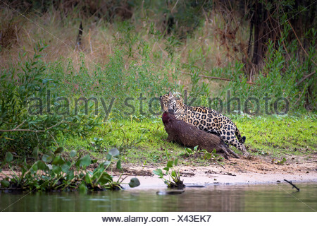 Male jaguar Panthera onca palustris predating Capybara Hydrochaeris hydrochaeris edge tributary Cuiaba River Northern Pantanal - Stock Photo