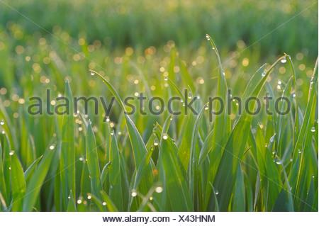 field of grain seedlings with dew drops, Germany, Bavaria, Spessart - Stock Photo