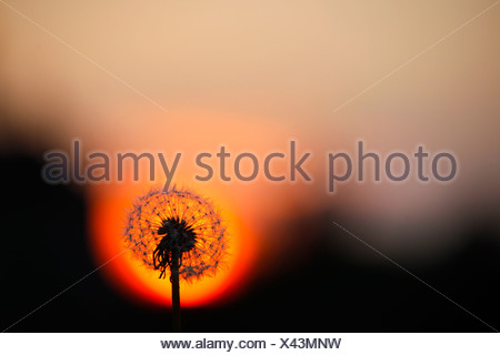 Germany, Blowball, Common dandelion, Taraxacum officinale, in the evening - Stock Photo