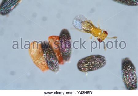 Parasitoid wasp Trichogramma sp on grain moth eggs - Stock Photo