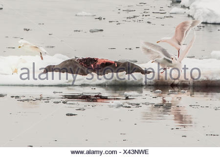 Glaucous gulls, Larus hyperboreus, scavenging a bearded seal carcass left by a polar bear. - Stock Photo