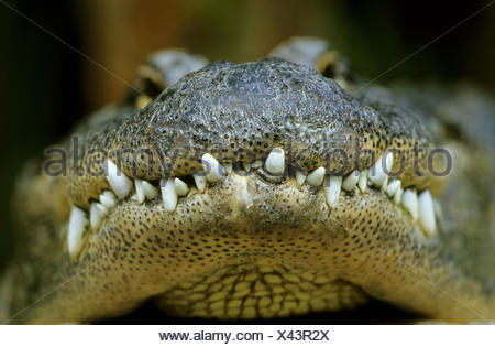 American alligator (Alligator mississippiensis), closeup of the snout - Stock Photo