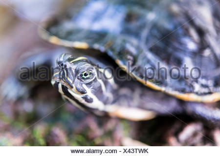 Florida Redbelly Turtle (Pseudemys nelsoni), native to Florida - Stock Photo