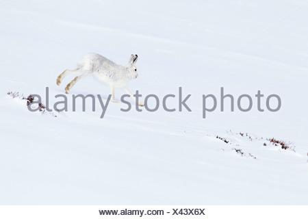 1, Alps, alpine, fauna, mountain, mountains, Cairngorms, ice, fauna, fur, cliff, escape, getaway, mountains, hare, rabbit, highl - Stock Photo