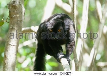 male Black lemur, Strict Nature Reserve of Lokobe, National Park, Nosy Be island, Republic of Madagascar, Indian Ocean - Stock Photo