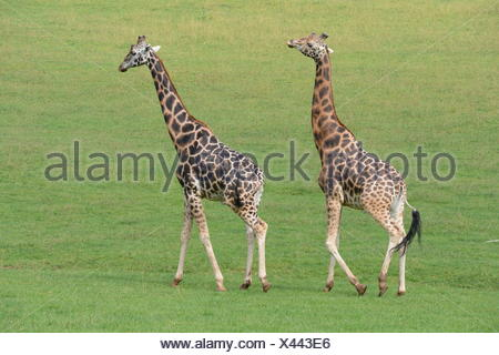 Side View Of Giraffes On Grassland - Stock Photo