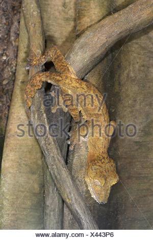 Giant Leaf-tailed Gecko - Uroplatus fimbriatus - Madagascar - Stock Photo