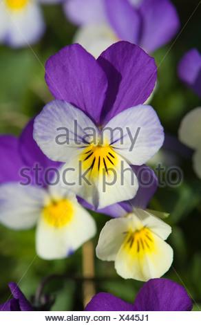 Heartsease (Viola tricolor), blossoms, Vaestergoetland, Sweden, Scandinavia, Europe - Stock Photo