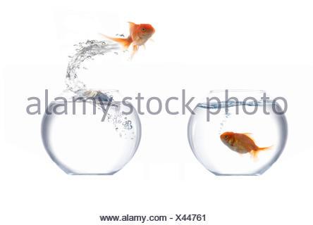 Jumping golden fish - Stock Photo