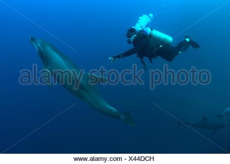 Underwater view of diver reaching for bottlenose dolphin, Revillagigedo Islands, Colima, Mexico - Stock Photo