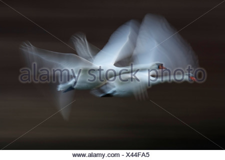 Germany, Munich, View of two flying mute swans - Stock Photo
