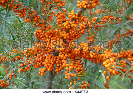 common seabuckthorn (Hippophae rhamnoides 'Orange Energy', Hippophae rhamnoides Orange Energy), cultivar orange Energy, branches with fruits - Stock Photo