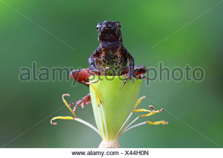 Slender toad sitting on flower, Indonesia Stock Photo