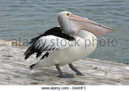 australian pelican,emu bay,kangaroo iceland,australia - Stock Photo