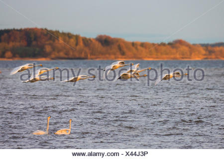 whooper swan (Cygnus cygnus), flock flying over a swimming couple in the evening light, Germany, Bavaria, Lake Chiemsee - Stock Photo