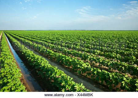 Agriculture - Large field of mid growth cotton being furrow irrigated / near England, Arkansas, USA. - Stock Photo