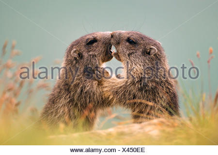 alpine marmot (Marmota marmota), two romping young animals, Austria, Kaernten, Hohe Tauern National Park, Grossglockner - Stock Photo